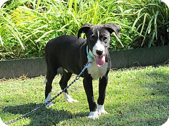 Hound (Unknown Type)/Feist Mix Puppy for adoption in Bedminster, New Jersey - SHEA