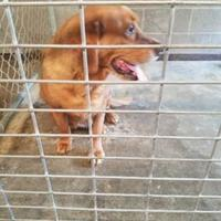 Adopt A Pet :: Rusty - Russellville, KY