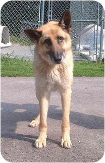 German Shepherd Dog Mix Dog for adoption in Honesdale, Pennsylvania - Duke