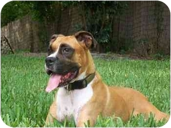 Boxer Dog for adoption in Brunswick, Georgia - Murphy
