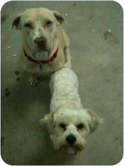 Labrador Retriever/Maltese Mix Dog for adoption in Van Nuys, California - Bella & Riley
