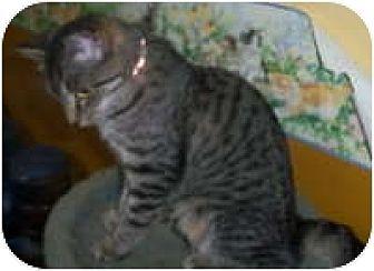 American Shorthair Kitten for adoption in Medford, New York - Tiger