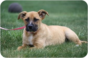 Boxer/Shepherd (Unknown Type) Mix Puppy for adoption in West Milford, New Jersey - JACY 4 months