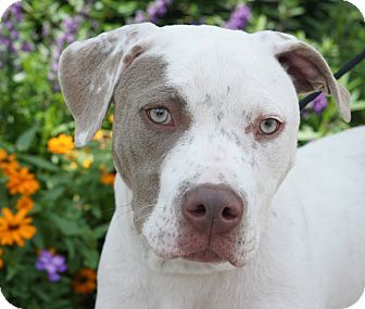 American Staffordshire Terrier/American Pit Bull Terrier Mix Puppy for adoption in Houston, Texas - Kisses & Hugs