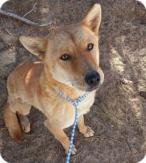 Shiba Inu/Jindo Mix Dog for adoption in Apple valley, California - Jessa
