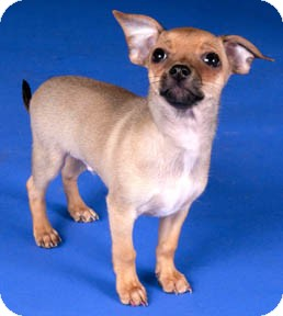 Chihuahua Puppy for adoption in Chicago, Illinois - Willow