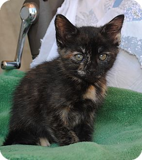 Domestic Shorthair Kitten for adoption in Palmdale, California - Ami