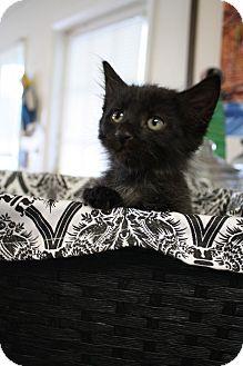 Domestic Mediumhair Kitten for adoption in Knoxville, Tennessee - Jaden