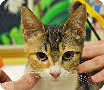 Calico Cat for adoption in Searcy, Arkansas - Ellie