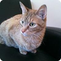 Adopt A Pet :: Tom Cat - Reston, VA