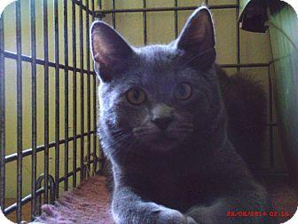 Domestic Shorthair Cat for adoption in Acme, Pennsylvania - GERALD