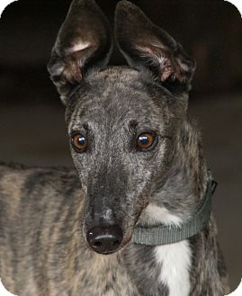 Greyhound Dog for adoption in Portland, Oregon - Audrey