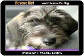 Schnauzer (Miniature)/Poodle (Miniature) Mix Dog for adoption in Boulder, Colorado - Stacy-ADOPTION PENDING