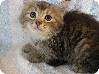 Domestic Mediumhair Kitten for adoption in Columbus, Ohio - Maple