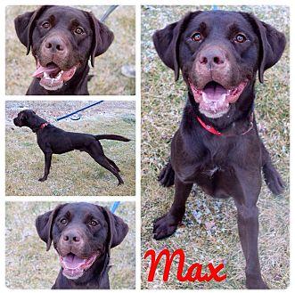 Labrador Retriever/Springer Spaniel Mix Dog for adoption in Garden City, Michigan - Max