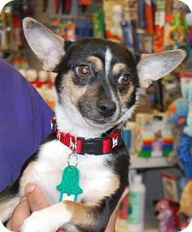 Chihuahua Mix Dog for adoption in Brooklyn, New York - Binx