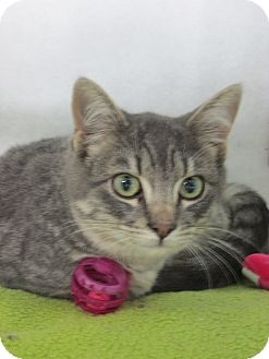 Domestic Shorthair Cat for adoption in Pueblo West, Colorado - Jammie