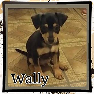 Miniature Pinscher Mix Puppy for adoption in Kenmore, New York - Wally