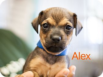 Terrier (Unknown Type, Small) Mix Puppy for adoption in Dallas, Texas - Alex