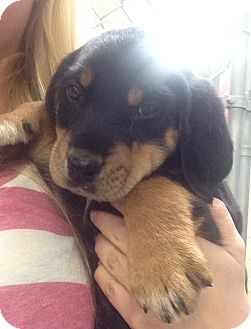 Coonhound Mix Puppy for adoption in Greensburg, Pennsylvania - Raj