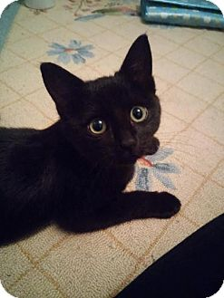Domestic Shorthair Kitten for adoption in East Brunswick, New Jersey - Tinsel