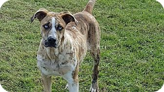 Catahoula Leopard Dog/Great Dane Mix Dog for adoption in Seguin, Texas - Huey
