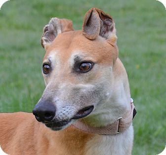 Greyhound Dog for adoption in Portland, Oregon - Crackle
