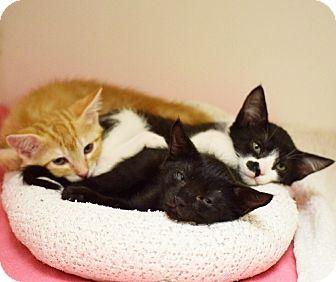 Domestic Shorthair Kitten for adoption in Dallas, Texas - Dahlia