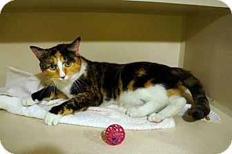 Domestic Shorthair Cat for adoption in New York, New York - Robin