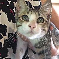 Domestic Shorthair Kitten for adoption in Mount Ida, Arkansas - Lake