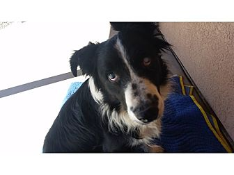 Border Collie Mix Dog for adoption in Tempe, Arizona - Comet