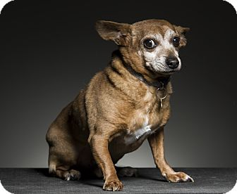 Chihuahua Mix Dog for adoption in Los Angeles, California - Arnold