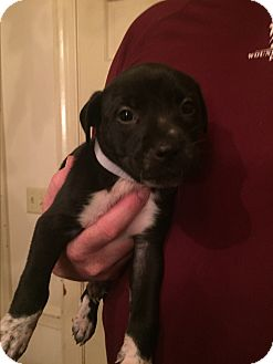 Pit Bull Terrier Mix Puppy for adoption in Colonial Heights, Virginia - Sara