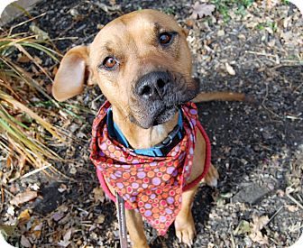 Boxer Mix Dog for adoption in Wilmington, Delaware - Bella