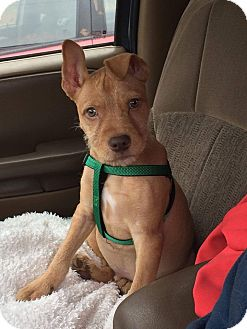 Terrier (Unknown Type, Medium) Mix Puppy for adoption in New Oxford, Pennsylvania - Max
