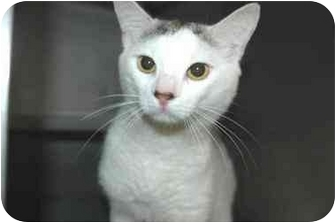 Domestic Shorthair Cat for adoption in Warwick, Rhode Island - Shaker: SO HANDSOME!