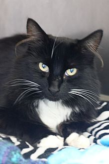 Domestic Mediumhair Cat for adoption in Wolfville, Nova Scotia - Oolong