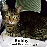 Adopt A Pet :: Bubby - Bentonville, AR