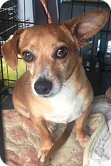 Chihuahua Mix Dog for adoption in Loudonville, New York - Cooper