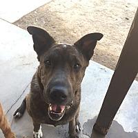 Adopt A Pet :: Mila - Las Vegas, NV