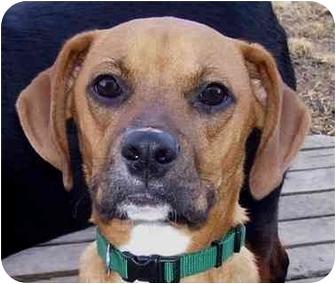 Boxer Mix Dog for adoption in Overland Park, Kansas - Buddy