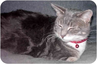 Domestic Shorthair Cat for adoption in Troy, Michigan - Penny