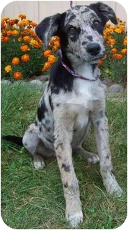 Australian Shepherd Mix Puppy for adoption in North Judson, Indiana - Fox