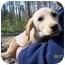 Photo 2 - Labrador Retriever/Italian Greyhound Mix Puppy for adoption in York, South Carolina - Jose'