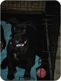 Labrador Retriever Mix Puppy for adoption in Smithfield, North Carolina - Ruckus