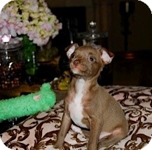 Chihuahua Mix Puppy for adoption in San Diego, California - Audrey
