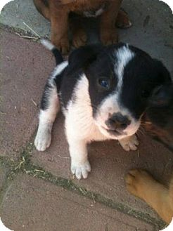 Labrador Retriever/Australian Shepherd Mix Puppy for adoption in San Diego, California - Atlas