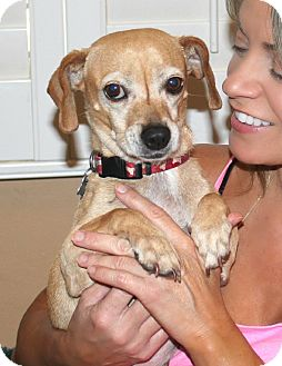 Dachshund/Chihuahua Mix Dog for adoption in Yorba Linda, California - Maxie - Easy & low maintenance