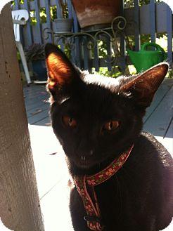 Domestic Shorthair Kitten for adoption in El Cerrito, California - Abra
