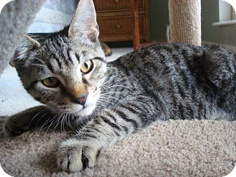 Domestic Shorthair Cat for adoption in Cincinnati, Ohio - Spanky